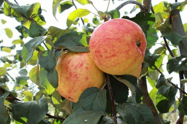 Сады Старой Руссы дали огромный урожай яблок