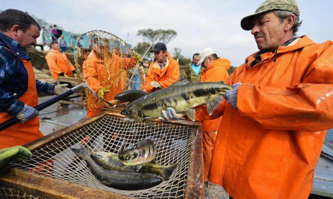 Рекордный вылов лосося на дальнем Востоке должен о снизить розничные цены