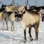 На Ямале вводят в эксплуатацию третий комплекс по заготовке оленьего мяса