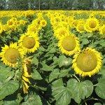 В Рязанской области немецкая компания занялась выращиванием подсолнечника