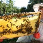 Ученые Башкирии разработали новые экологически безопасные лекарства для пчел