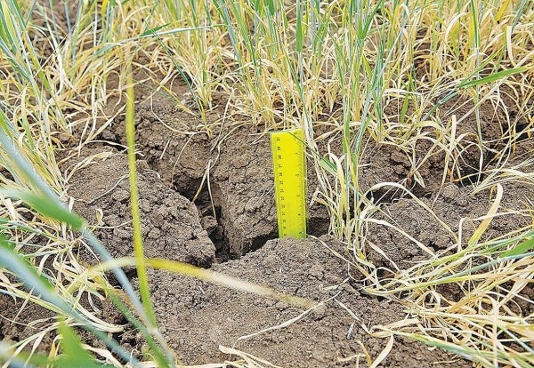 В Оренбургской области погибли посевы зерновых на площади в 350 тысяч гектаров