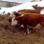 В Хабаровском крае активно развивается мясное животноводство