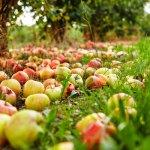 Урожай яблок в Тамбовской области бьет рекорды