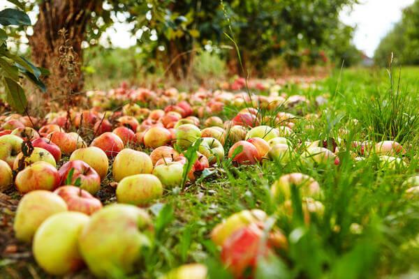 урожай яблок в садах Тамбовщины побил прошлогодние рекорды