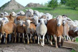 """Предприятие """"Крафт"""" будет выращивать в катумских овец и овощи закрытого грунта"""