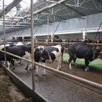 ГК «Толмачевское» Новосибирской области проводит модернизацию молочного комплекса