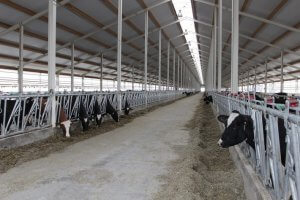 На Белгородщине введен в эксплуатацию очередной молочно-товарный комплекс