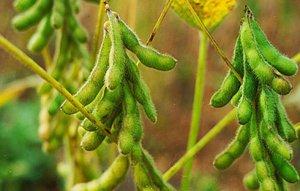 Учеными ВНИИ сои в Приамурье выведен новый сорт Топаз