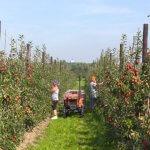 В садах шпалерного типа Свердловской области получили первый урожай яблок