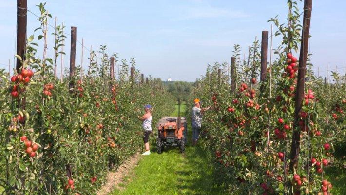 В Григорьевских садах шпалерного типа получили первый урожай яблок