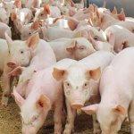 Томский мясокомбинат выходит с экспортом свинины на международный рынок
