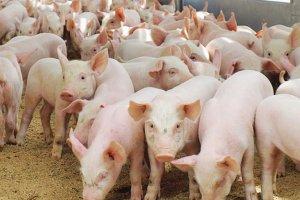 «Сибирская Аграрная Группа» начинает экспортировать свинину за рубеж
