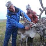 На Ямале нашли свой метод вакцинации оленей от сибирской язвы