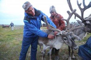 Опыт вакцинации ямальских оленей от сибирской язвы перенимают оленеводы России, Норвегии и Финляндии