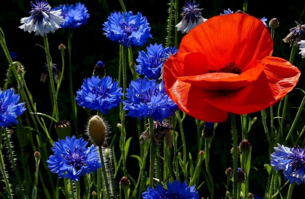 Василек синий садовый
