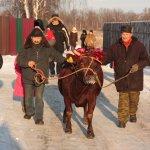 Многодетным семьям Карелии дадут деньги для покупки коровы