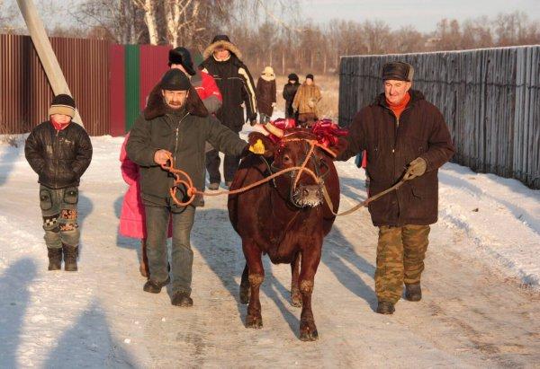В Карелии многодетным семьям выделят деньги для покупки коровы