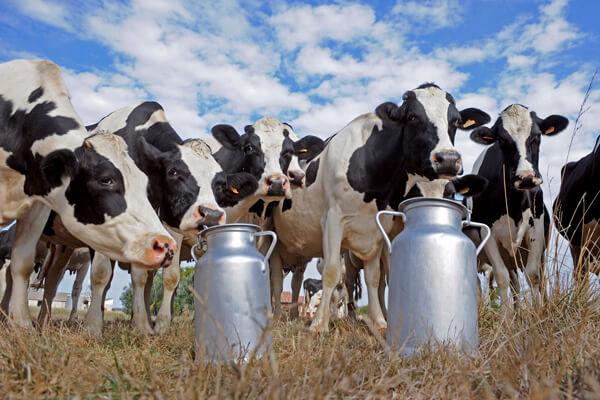 Уроженец Дагестана И. Исаев, построит на родине животноводческий молочный комплекс