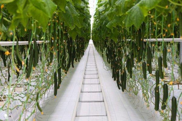 Под Череповцом запустили в производство тепличное хозяйство