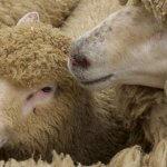 В Ростовской области введен карантин по брадзоту овец