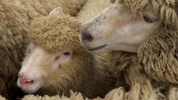 В Ростовской области выявлено заболевание овец - брадзот
