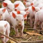В Хабаровском крае будут выращивать канадских свиней