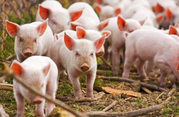 В Хабаровский край завезут свиней из Канады