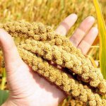 Просо: особенности растения, выращивание, уход и уборка