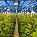 В Новосибирской области развивают тепличное производство овощей