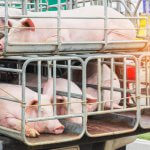 На свинокомплекс «Орлянский» в Курской области  завозят первых животных