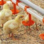 На птицефабрике «Челны-Бройлер» занялись выращиванием нового кросса бройлеров