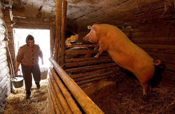 КАлиниградским крестьянам запретили выращивать свиней