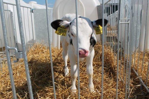 В Московской области построили ферму, комфортную для коров и доярок