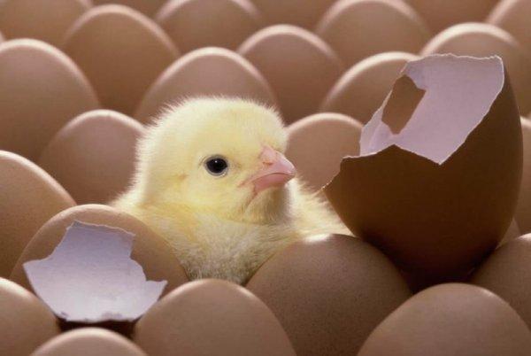 В Челябинской области начали производство инкубационного яйца