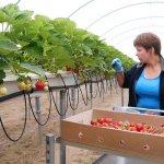 В севастопольском хозяйстве «Артвин» выращивают в теплицах садовую землянику
