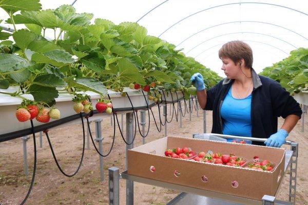 Первый урожай клубники в Севастополе получат уже в апреле