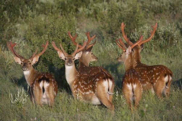 В Челябинской области открылась оленья ферма