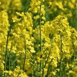 Выращивание и применение рыжика посевного