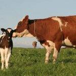В сельхозкооперативе «Спас» получили телят из замороженных эмбрионов