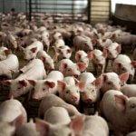ГК «Скифагро-ДВ» в Хабаровском крае наращивает объемы производства свинины