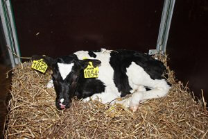 На САхалине введена встрй очередная молочная ферма