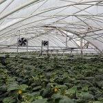 Агрофирма «Выборжец» открыла новый круглогодичный тепличный комплекс