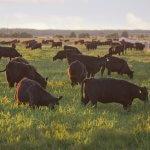Компания «Мираторг» увеличивает поголовье крупнорогатого скота в Калининградской области