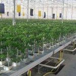 В Астраханской области тепличные овощи выращивают на ватном субстрате