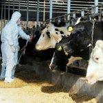 Приморская компания «Мерси-Трейд»  из-за ящура полностью уничтожает поголовье свиней