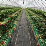 В Новосибирской области производители садовой земляники могут рассчитывать на господдержку