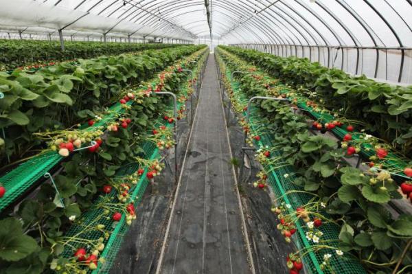 Законодатели Новосибирской области рассматривают вопрос господдержки производителей земляники
