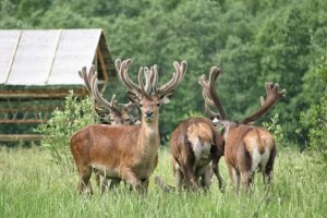 В Нижегородской области станут выращивать оленей