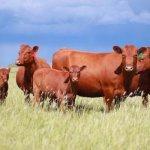 В Ставропольском крае сохраняют местную породу крупнорогатого скота – красную степную